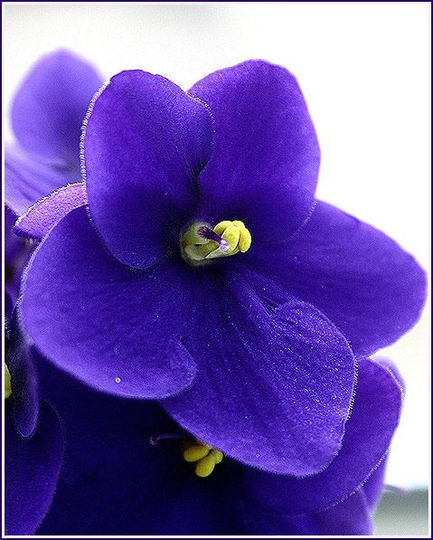 Комнатные цветы фиалки и уход за ними
