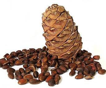 фото орех кедровый