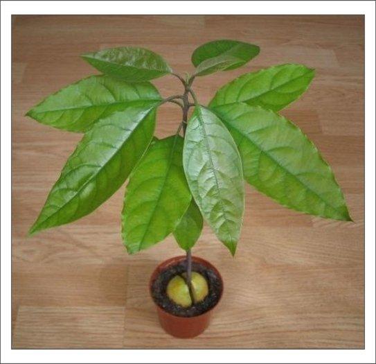 Уход за авокадо в домашних условиях 119