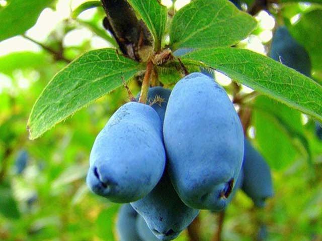 ягоды жимолости фото