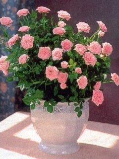 Как ухаживать за розами в горшке из магазина в домашних условиях