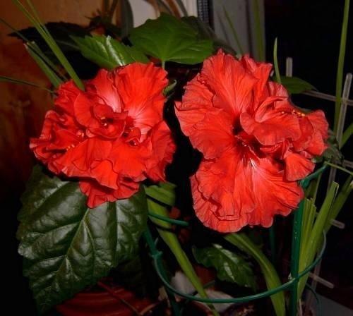 фото роза китайская