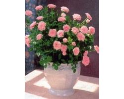 Как ухаживать за розами домашними