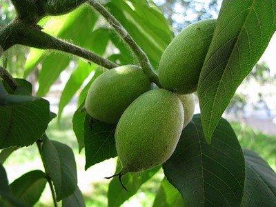 Ореховые листья лечение суставов боли в суставах у шейников