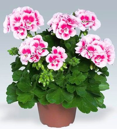 комнатные цветы герань фото