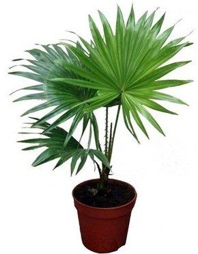 Почему желтеют и опадают листья пальмы комнатной