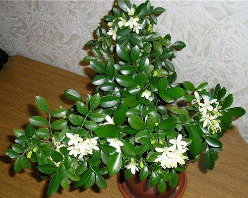 Растение комнатное из листа белый цветок