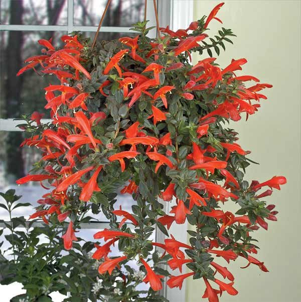 Колумнея цветок комнатный