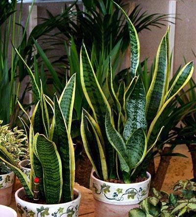 Сансевьера: 19 видов комнатного растения и его виды, как