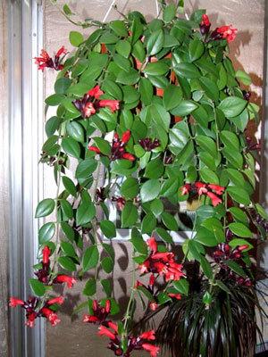 комнатные висячие цветы названия и фото