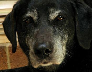 Лекарство для суставов старых собак замена связок коленного сустава