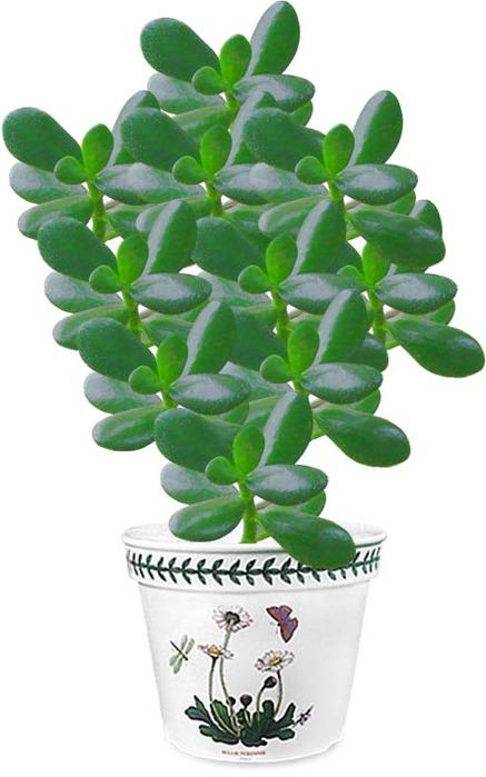 Денежное дерево или   kaktussukkulentru