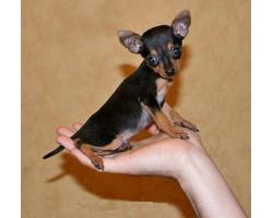 Как ухаживать за маленькими собачками