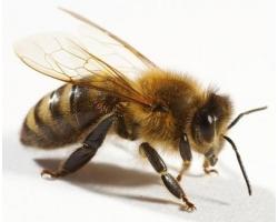 Куда исчезли пчелы в Америке?