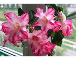 Адениум - прекрасная роза пустыни