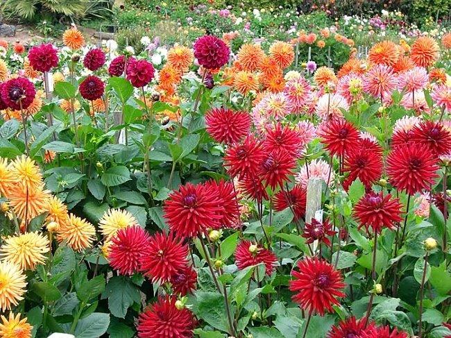 Цветок георгин посадка и уход, фото, выращивание; как 14