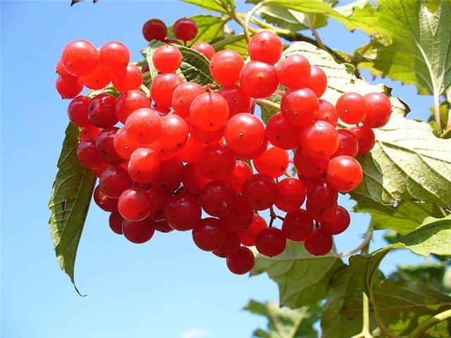 Все о выращивании хризантем в открытом грунте 867