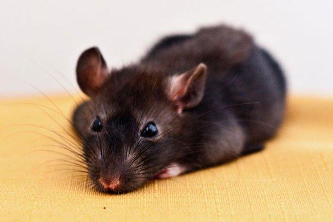 Приснились дохлые крысы - толкование сна по сонникам