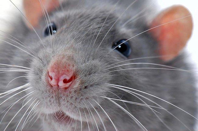 крыса снится к болезни