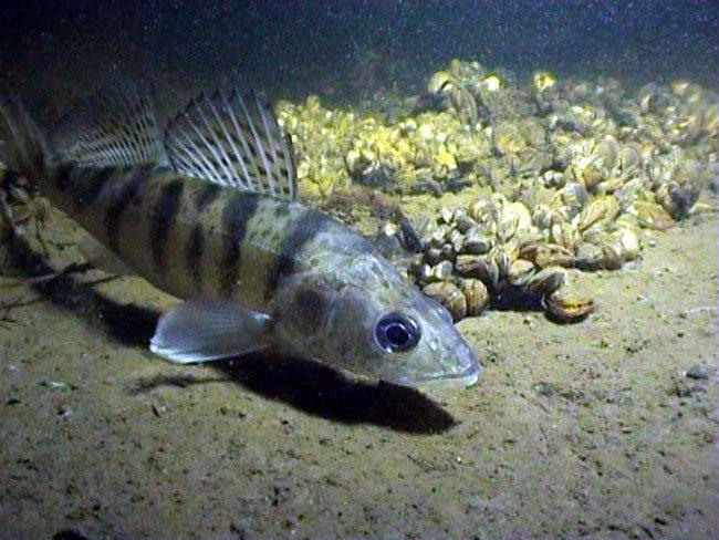 Большая сниться рыба беременной