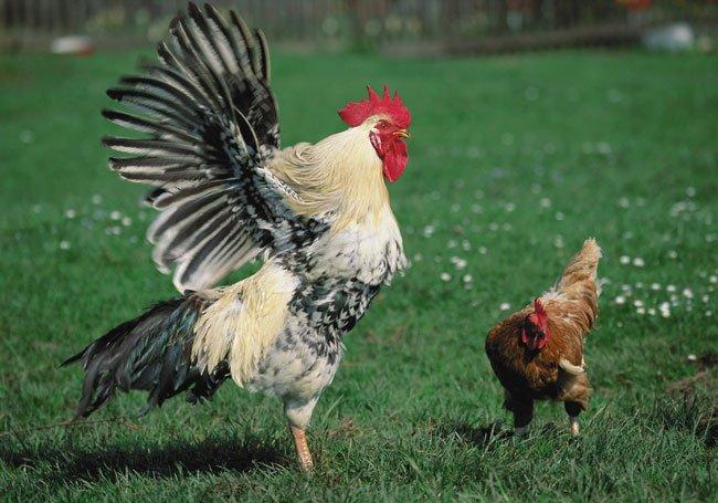что если сниться курица