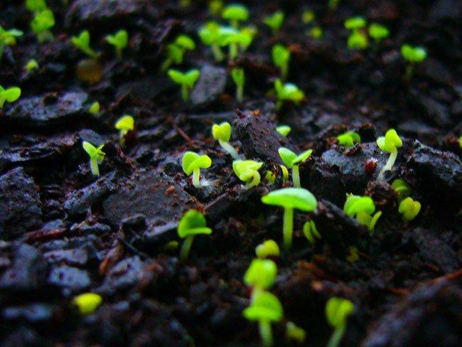 Маргаритки фото цветов рассада когда сажать 7