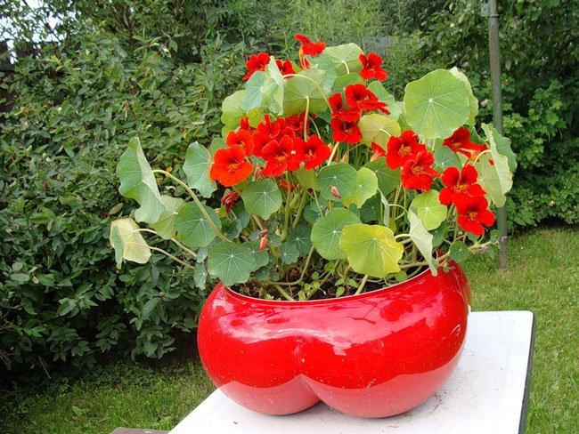 Настурция - отличное решение для вашего сада