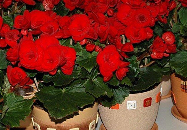 Комнатный цветок бегония: уход в домашних условиях с фото 6