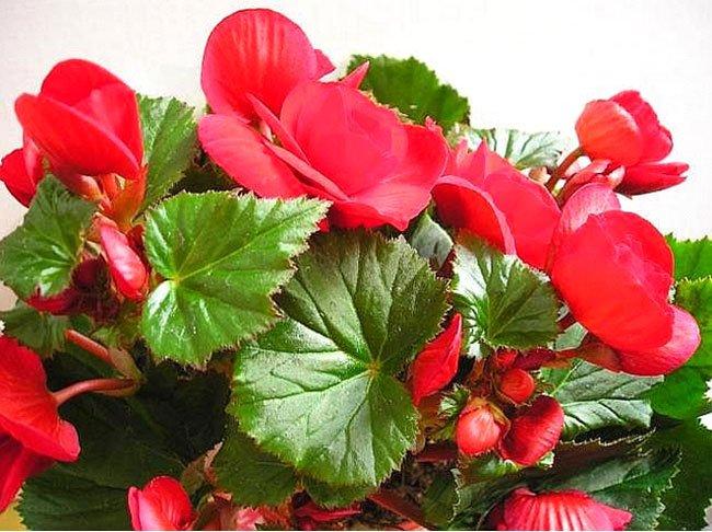Цветок бегония: уход и выращивание дома. Как вырастить удивительное растение? - allWomens