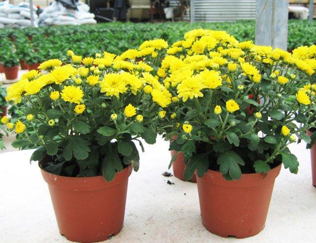 Выращивание хризантем дома в горшке 61