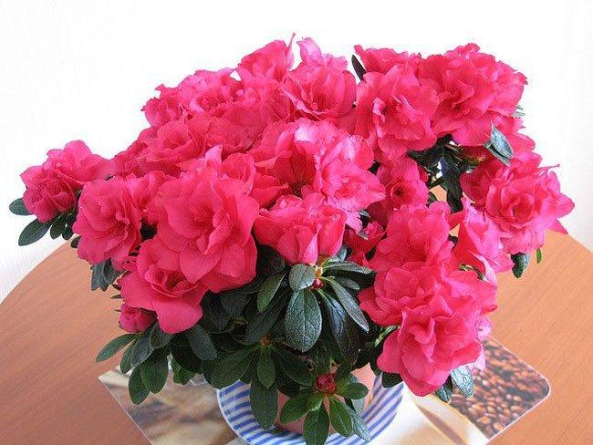 Комнатные цветы азалия уход фото
