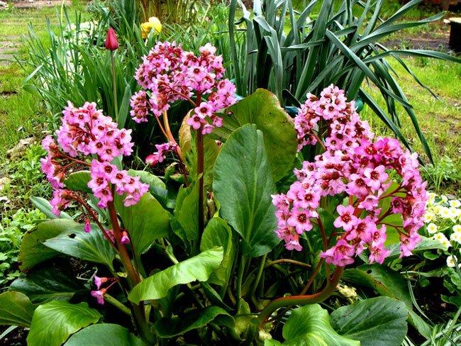Цветы посадка и уход бадан