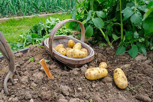 копание картошки картинки