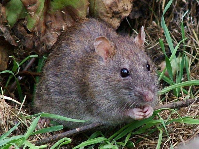 Толкование снов крыса кусает за руку фото