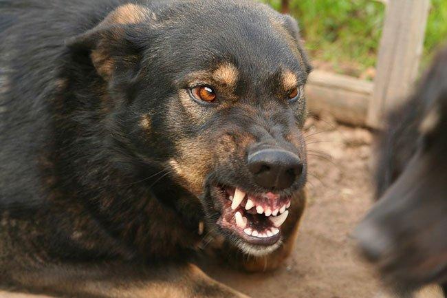 Фото Сонник собаки нападают на человека