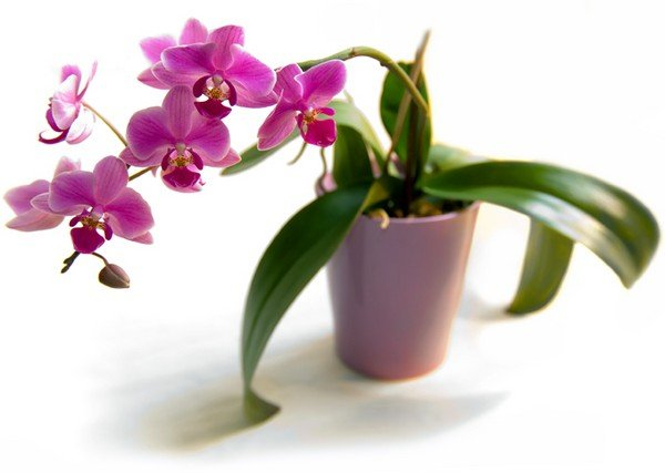 Один цветок орхидеи фото