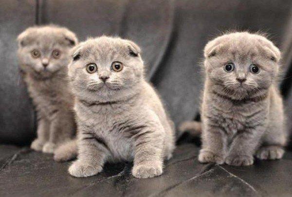 Как ухаживать за британским котенком?