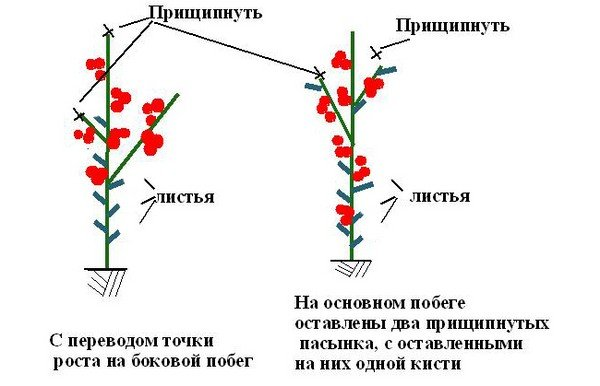 Схема формирования стебля помидора