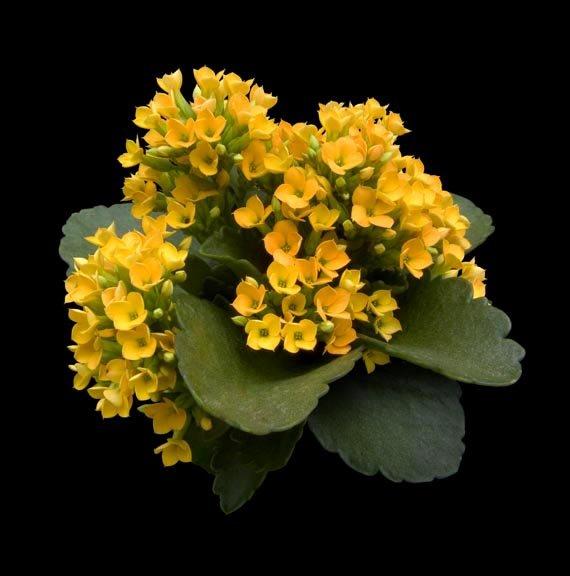 Картинки цветка каланхоэ желтые
