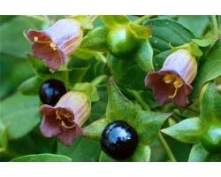 Полезные свойства и применение белладонны в медицине