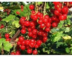 Лечебные свойства красной смородины