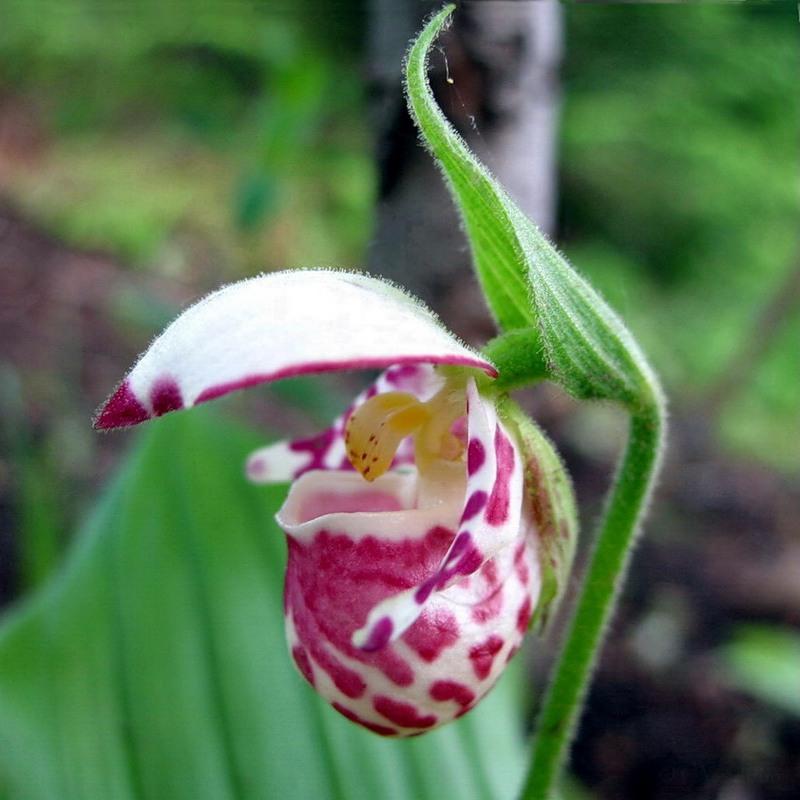 растение венерин башмачок картинки исключает