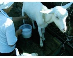Козье молоко в детском питании