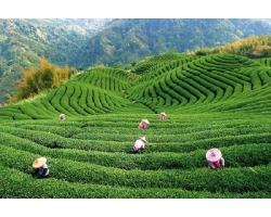 Мифы и заблуждения о чае