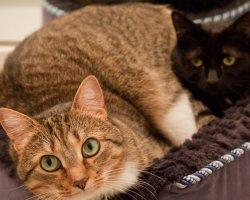 Большой пушистик: как похудеть коту?