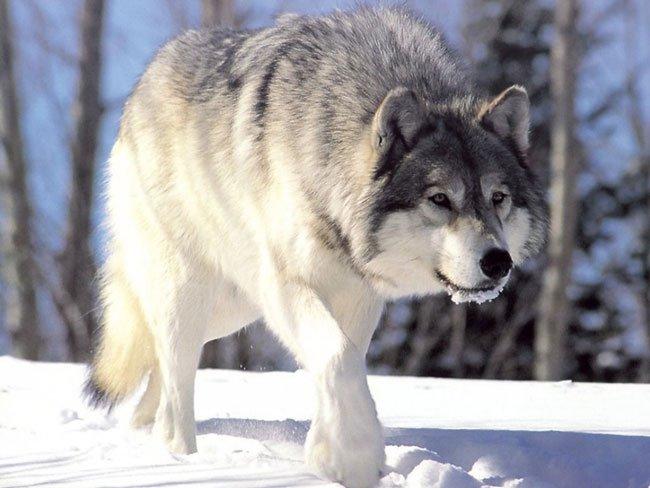 Волк заглотил голову