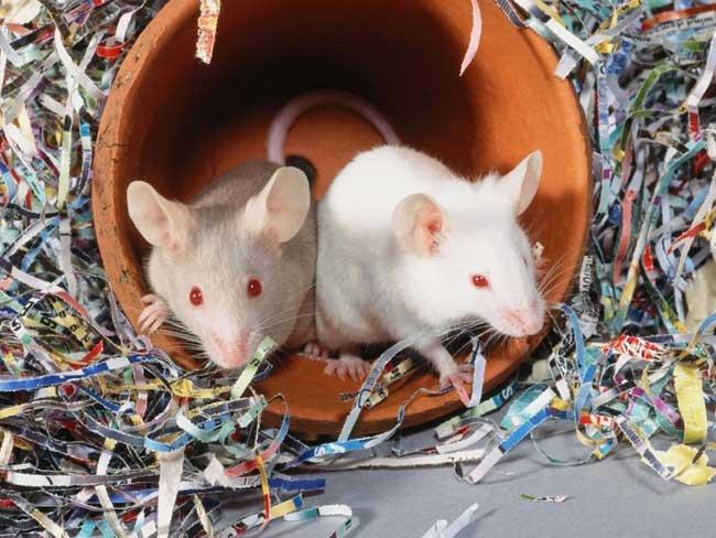 Белая мышь сонник значение