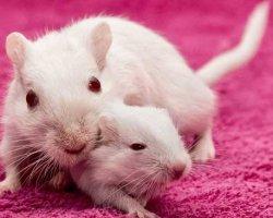 Популярный сонник: к чему снятся белые мыши