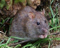 Чего ожидать, если во сне вас укусила крыса?