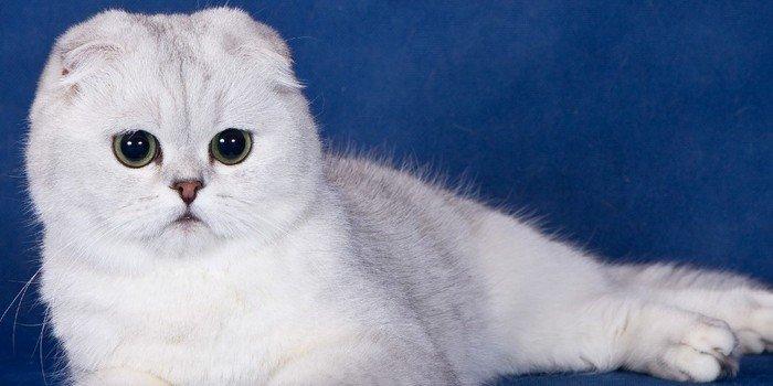 бывают ли британские вислоухие котята